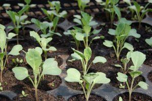brassica-seedlings